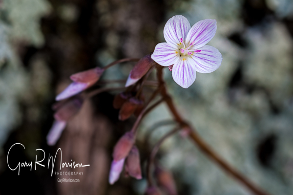 Spring Beauty Waldrup Ridge Monroe County IN