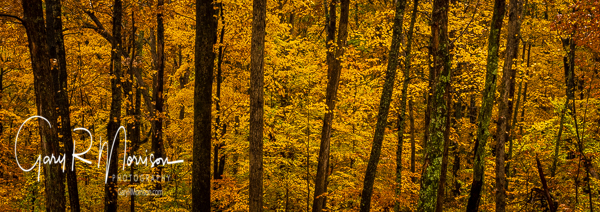 Golden Maples In Fall Rain Selma Steele NP Brown County IN