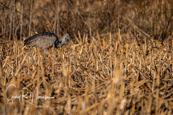 Early Return For The Sandhill Cranes