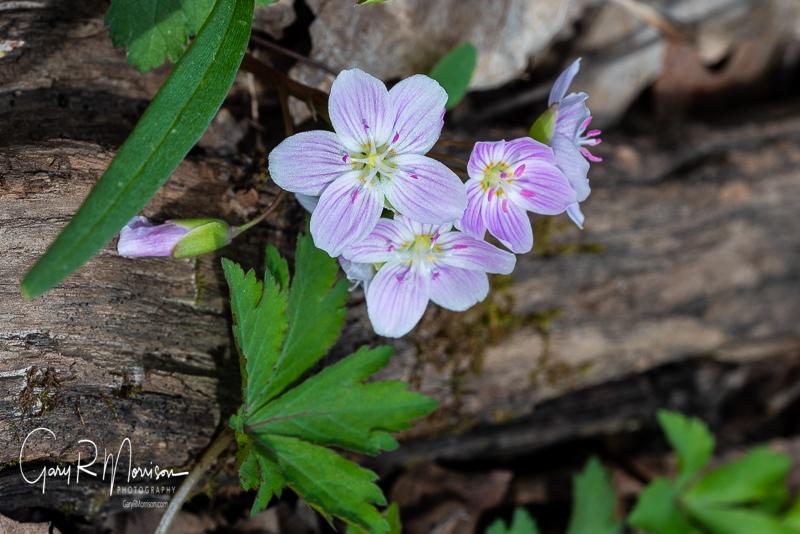 Spring Beauties II McCormicks Creek SP IN