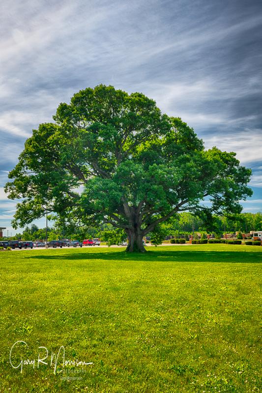 Tree Of Liberty Johnson County