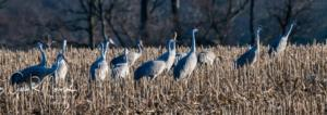 Sedge of Sandhill cranes searching for food Goose Pond IN