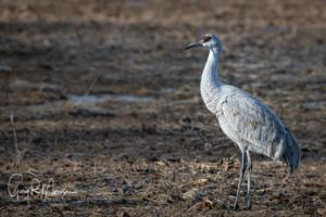Watching the sedge of Sandhill Cranes Jackson County IN