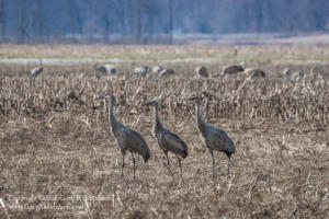 A Family of Sand Hill Cranes Medora IN