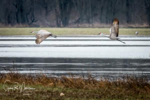 A Fleeting Pair of Sandhill Cranes Jackson County IN