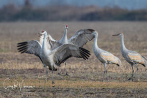 A double jump Sandhill Cranes Jackson County IN