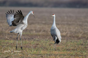 An introduction Sandhill Cranes Jackson County IN