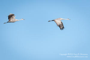Gracefull Sand Hill Cranes