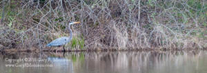 Great Blue Heron Muscatatuck NWR Jackson and Jennings County IN