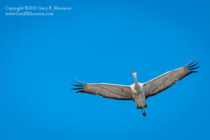 High Flying Sand Hill Crane