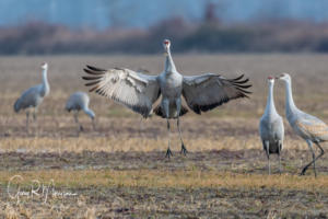 Jump for joy Sandhill Crane Jackson County IN