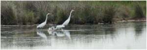 Lucky catch, Great Egrets, McKay National Wildlife Refuge, North