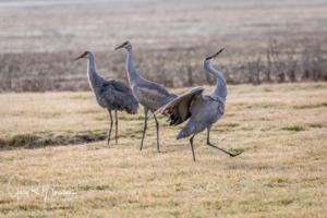 Strut your stuff Sandhill Crane Jackson County In