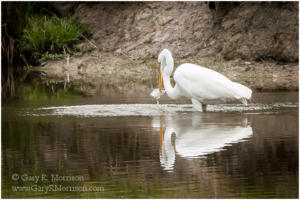 Succesful Egret, Chesapeake, Virginia