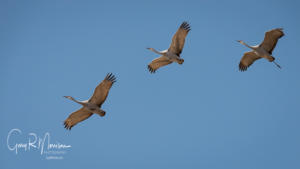 Three Sandhill Cranes in Flight Goose Pond IN