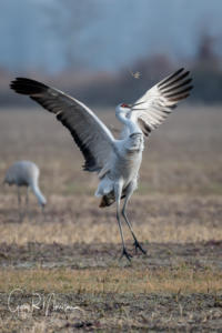 Watch Me II Sandhill Cranes Jackson County IN