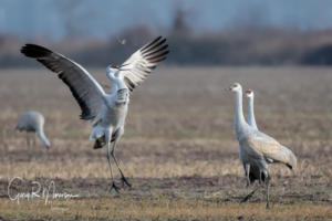 Watch Me Sandhill Cranes Jackson County IN