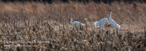 Whooping Cranes Goose Pond FWA Green County IN
