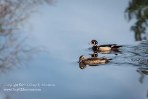 A morning swim Medlock Pond Indiana