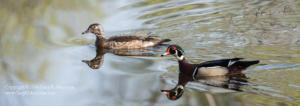 A pair of Wood Ducks III Medlock Pond Indiana