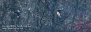 Blue-Wing Teals in Flight
