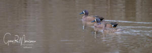 Blue-Winged Teal Muscatatuck NWR IN