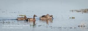 Blue-Winged Teals Goose Pond NFWA