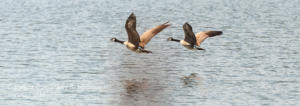 Canada Geese in Flight Green-Sullivan State Forest IN