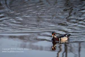 Male Wood Duck Medolock Pond Indiana
