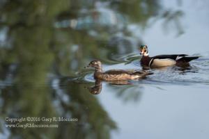 Pair of Wood Ducks II Medolock Pond Indiana