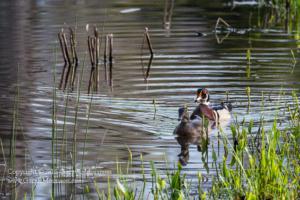 Pair of Wood Ducks Medolock Pond Indiana