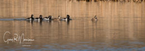 Ring Neck Ducks Stillwater Marsh Monroe County IN