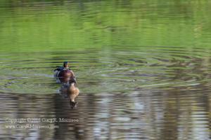 Searching Wood Ducks Medolock Pond Indiana