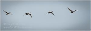 Snow Geese in Flight, McKay National Wildlife Refuge