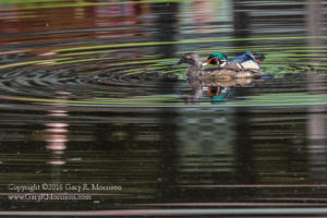 Wood Ducks Grooming Medolock Pond Indiana