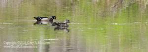 Wood Ducks III Muscatatuck NWR Jackson and Jennings County IN