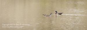 Wood Ducks II Muscatatuck NWR Jackson and Jennings County IN