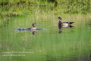 Wood Ducks Teasing Medolock Pond Indiana