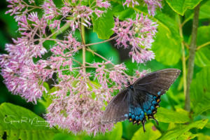 Black Swallowtail Butterfly Muscatatuck NWR