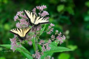 Two Swallowtail Butterflies III Muscatatuck NWR
