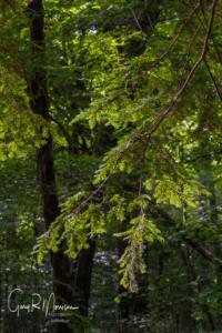 Hemlock Tree Greens Bluff Owen County IN