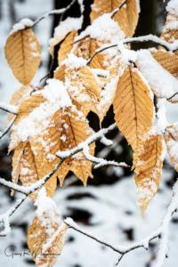 Beech leaves in the snow I Brown County SP