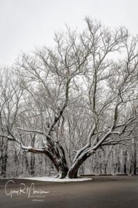Red Mulberry in the snow Brown County