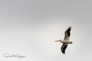 American White Pelican Goose Pond IN