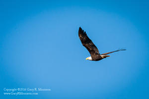Bald Eagle Stillwater Marsh Monroe County IN