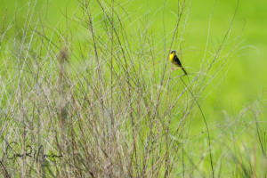 Common Yellow Throat Muscatatuck NWR IN