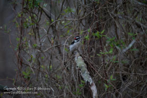 Downy Woodpecker Stillwater Marsh Monroe County IN