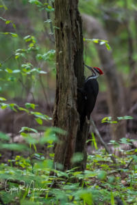 Pileated Woodpecker Brown County SP IN