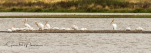 Preening Pod of American White Pelicans Goose Pond Indiana