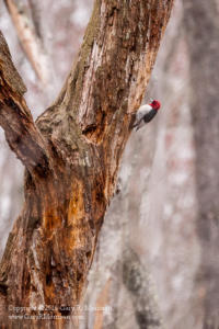 Red Headed Woodpecker Bean Blossom Bottoms NP Monroe County IN